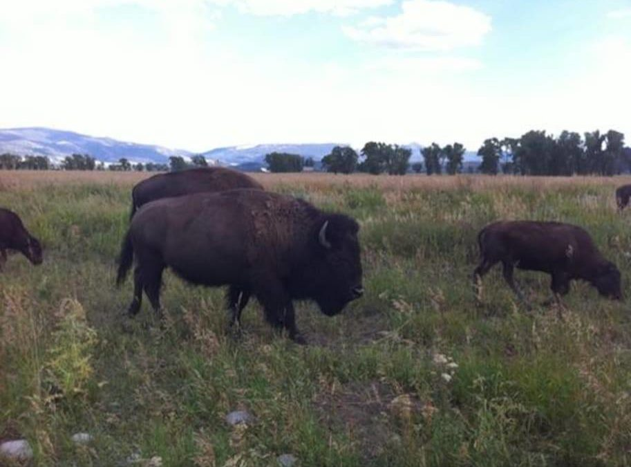 More bison grazing in the park.