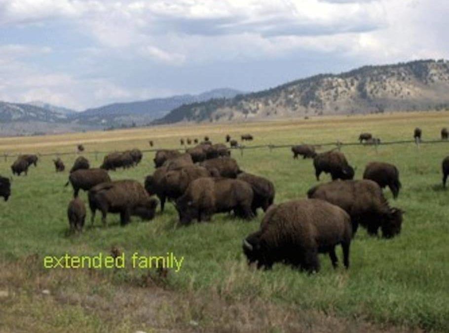The bison along Antelope Flats in the park.