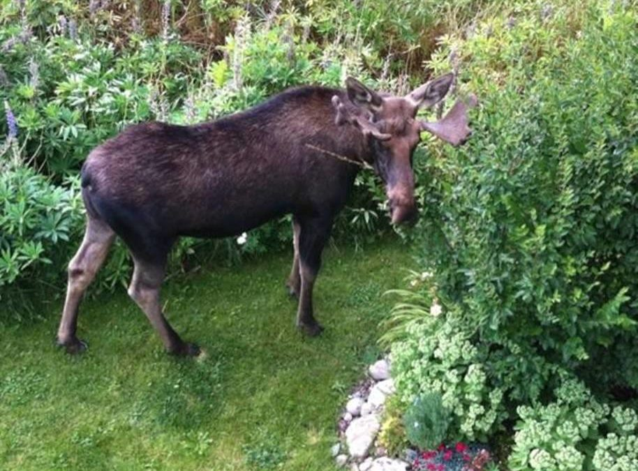 You never know when you can spot a moose from our deck.