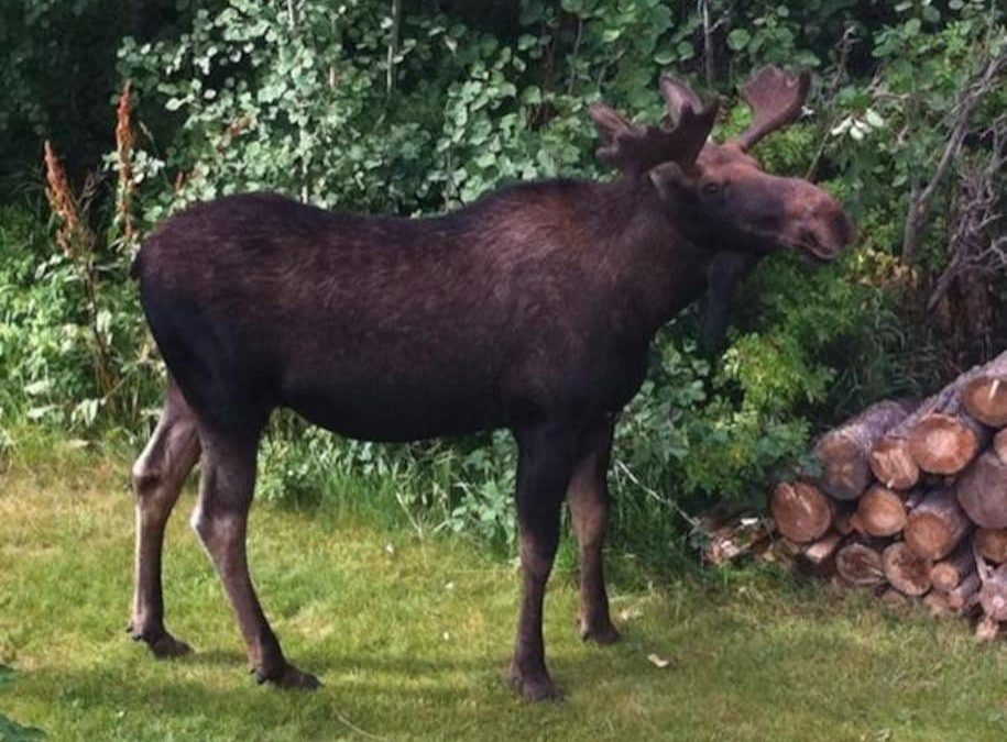 You'll love the visiting moose out back.